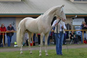 removed tack cremello by suuslovertje