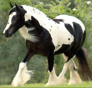 Gypsy Vanner Stock--1 by Stock-Official