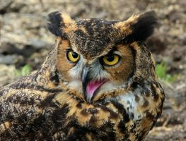Eagle Owl by MisterKrababbel