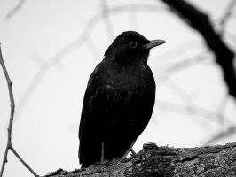 blackbird by AnNacht