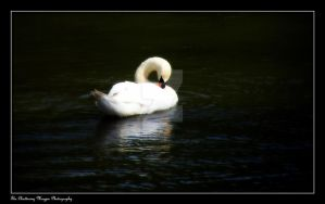 Swan (DSCF3901a CO) by Chattering-Magpie