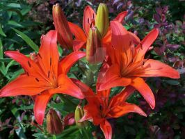 Red Asiatic Lily 4 by racheltorres921