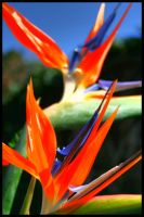 Tiger Lily's - HDR by simoner