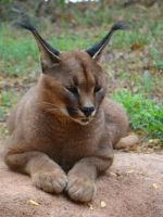Caracal by Kendris