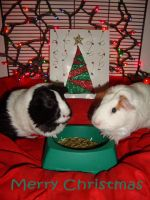 Guinea Pig Christmas by LLWSWeet