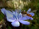 European Hoverfly 3 by Lupsiberg