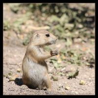 Little Prairiedog by Globaludodesign
