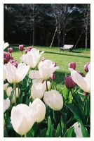 Tulip Festival_01 by freyiathelove