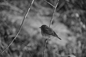 rotkehlchen black and white by seasfairytale