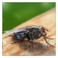Flesh fly even closer by Nameda