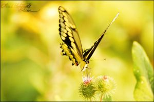 Yellow Butterfly  by MythologicalWonders