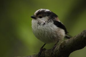 Long-tailed Tit (Aegithalos caudatus) by s-ascic