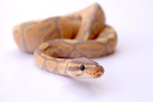 Banana Ball Python 4 by FearBeforeValor