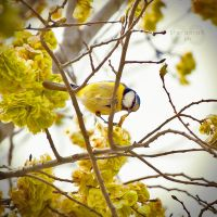 Blue Tit by Stefania-R