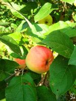 apple on a branch by DarraChese