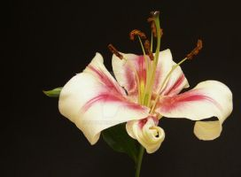 Asiatic Lily by Stolte33