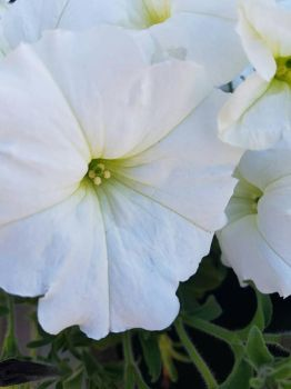 white petunia by MyLoveForYouEternity