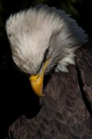9647 - Bald eagle by Jay-Co