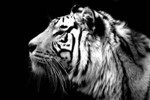 WHITE TIGER FACE by TlCphotography730
