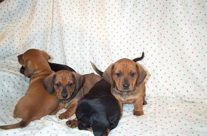 Dachshund Puppies 1 by torrenttrue