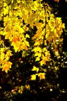 Maple Yellow by bamako