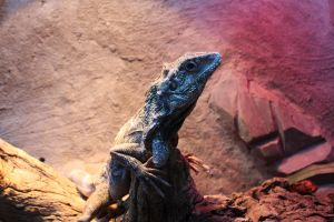 Frilled Lizard by icantthinkofaname-09