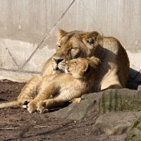 Lioness and her cub by Sabbie89