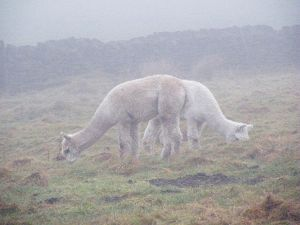 Llamas Through the Mist