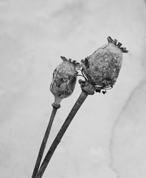 Papaver by Reslow