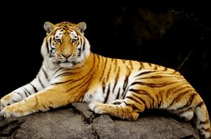 Young Tiger by Art-Photo