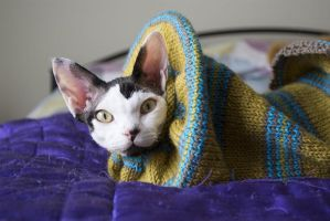 Devon Rex Cat 2 by bodypillow