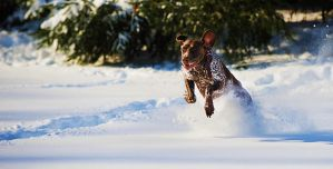 Brady flying through the snow. by Icewiing