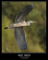 Grey Heron Banking by q-118