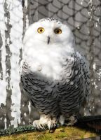 Snowy Owl Stock 3 by LRG-Photography