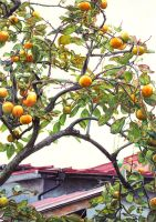 Persimmon tree by Tarsanjp