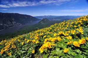 The annual Dog Mountain wildflower pilgrimage by greglief