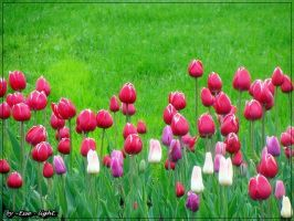 Tulips by Esse-light