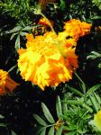 Tagetes by Gallerica