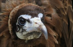 Hooded vulture. by Evey-Eyes