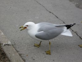 Seagull-005 by Joseph-Sweet-Stock