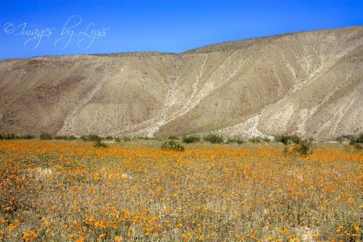 Borrego Springs Wildflowers by ImagesByLyss