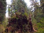 Hoh rainforest- ID detail by THEsimplePLEASURES