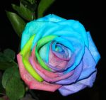 Rainbow Rose2 by superpower-pnut