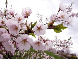Cherry blossom II by Baltagalvis