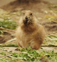 The prairie dog by tipoe