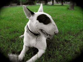 pouki my bull-terrier2 by SDZN