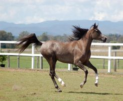 GE Arab rosegrey canter mane up side view by Chunga-Stock