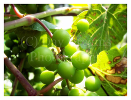 The Grape Vine by DayDreamsPhotography