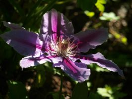Clematis 02 by botanystock