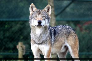 European Wolf 337 by Canisography